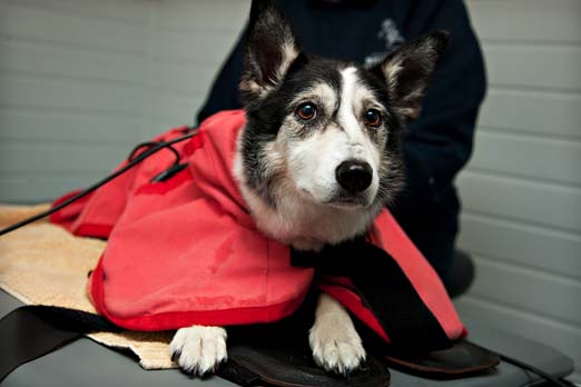 magnetic therapy for dogs